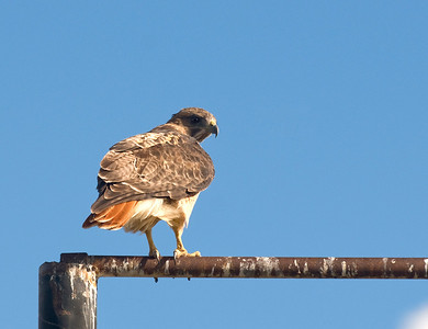 Red-Tailed Hawk_3155
