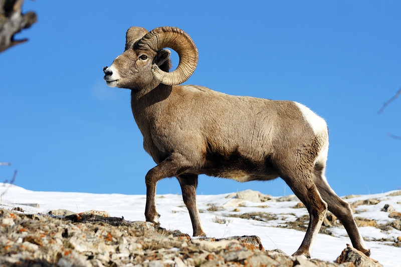 A bighorn ram. Lamar Valley, Yellowstone NP, WY<br /> <br /> © Kirk Sagers