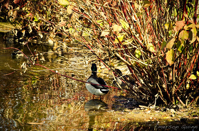 Ducks relaxing behind a bush at the lakeshore