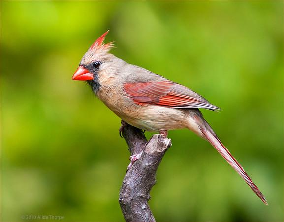Northern Cardinal female (Cardinalis cardinalis)