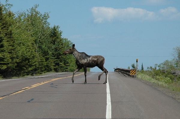 Minnesota Moose Crossing