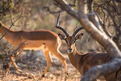 Impala Male - Rukiya