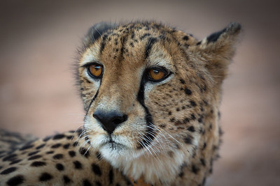 Cheetah Portrait - Rukiya