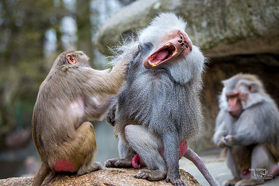Two Baboons
