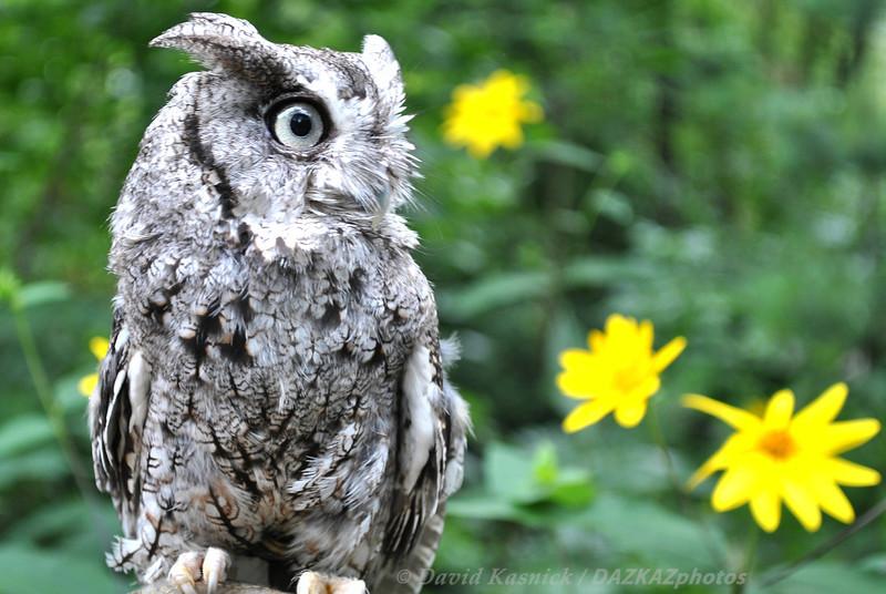 Eastern Screech Owl - Glen Ellyn, IL