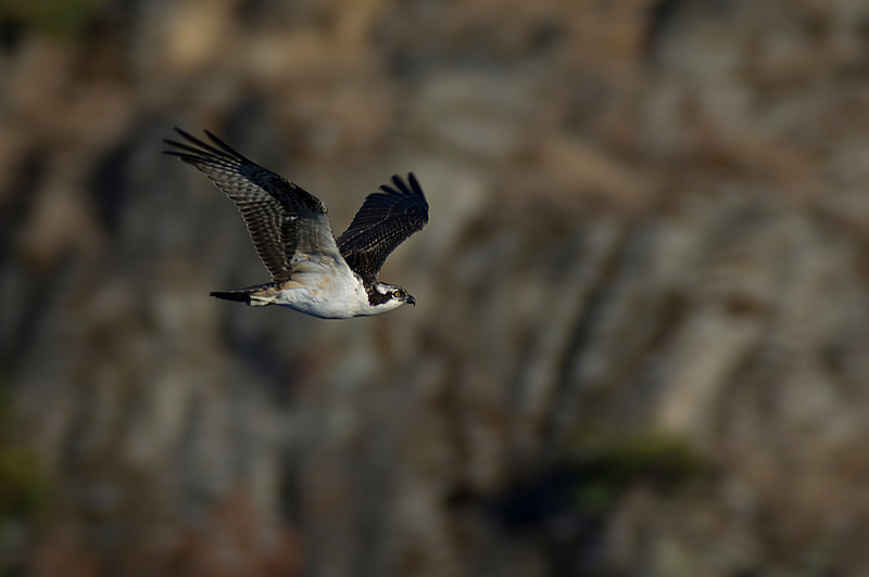 Osprey<br /> Esquimalt Lagoon, Victoria, British Columbia<br /> Camera: Pentax K-5 / Lens: A*1200/8