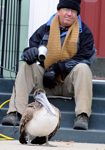 Longtime Corpus Christi resident Gary Gorton warms up a brown pelican using his hair dryer at his Corpus Christi home Thursday February 3, 2011.