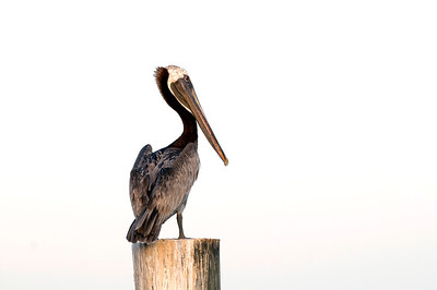 BROWN PELICAN_0812 2