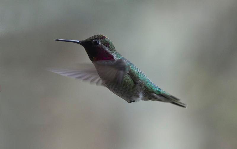 Hummingbird, Victoria, British Columbia<br /> Camera: Pentax K-5 / Lens A*300/2.8
