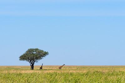 Giraffes, Sarengetti