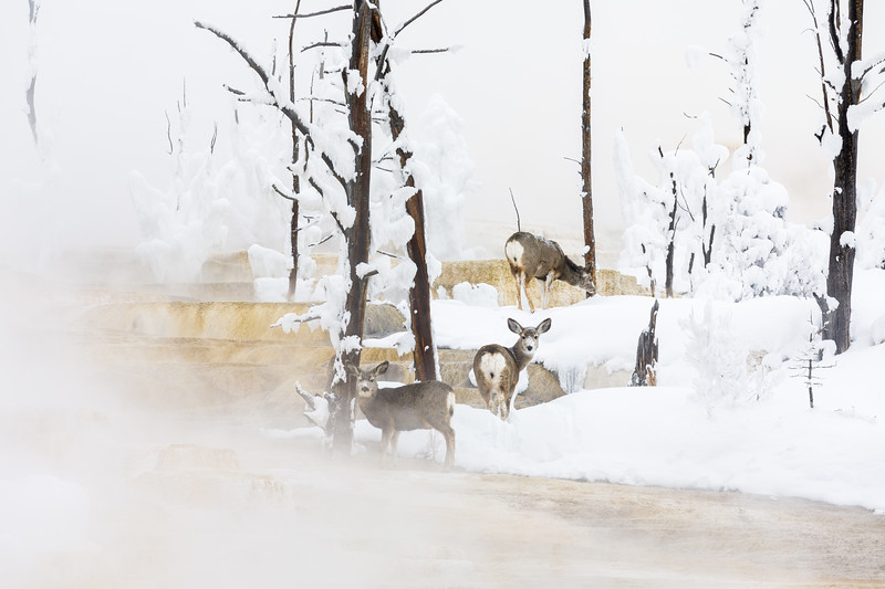 Mule deer moving across Angel Terrace in Yellowstone National Park, Wyoming