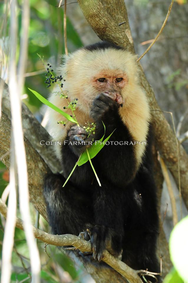 Capuchin-o Break