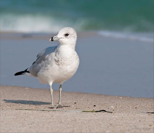 Gull, white, black eye ring