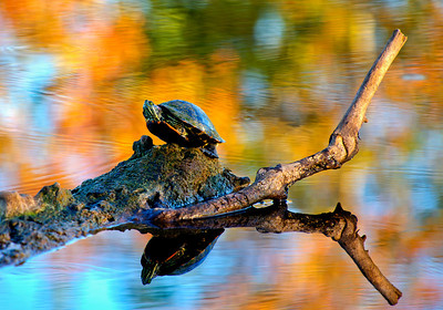 Red-Eared Slider-8295