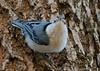 White Breasted Nuthatch 2 - Backyard Birds
