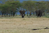 Elephants<br /> Ngorongoro Crater, Tanzania