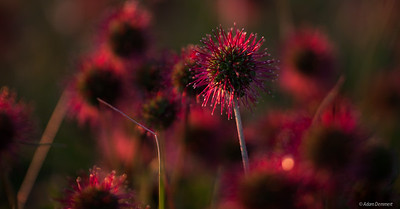 Funny flowers in the sunset light at the Horn, Mount Buffalo