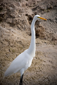 Great Egret_5771