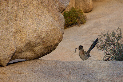 A road runner building a nest!