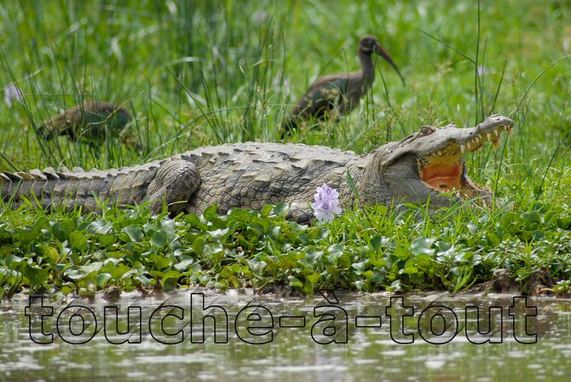 Crocodile by the River Nile, Murchison Falls National Park, Uganda