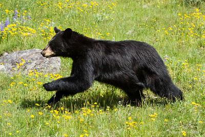 Black bear running through field of green grass and yellow wildflowers