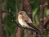 Northern Rough Winged Swallow - Ludington Mi.