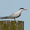 Tern on piling, Fire Island