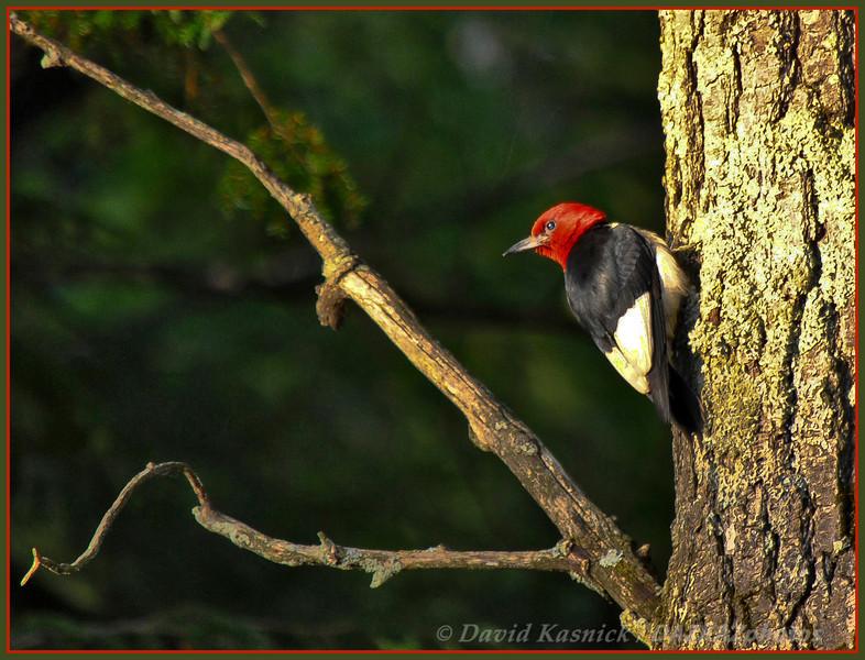 Red Headed Woodpecker - Bass Lake, MI