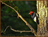 Red Headed Woodpecker - Bass Lake, MI