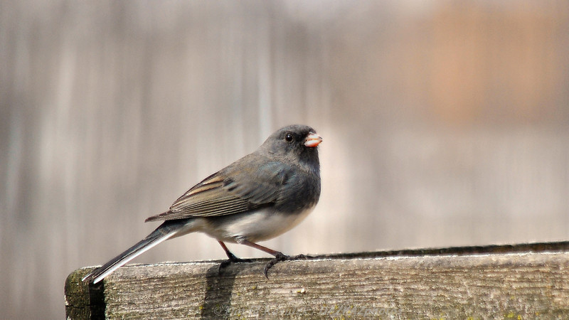 Dark Eyed Junco - Backyard Birds
