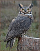 Great Horned Owl 2 - SOAR
