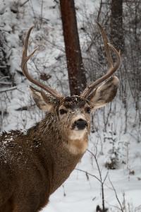 Mule Buck, Snow 2015