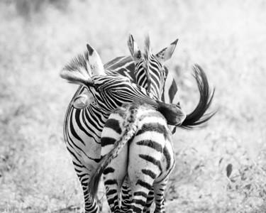 Zebra in Monochrome II