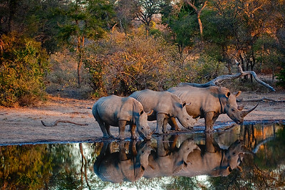 Rhino Reflections