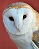 Barn Owl 1 - Itasca, IL