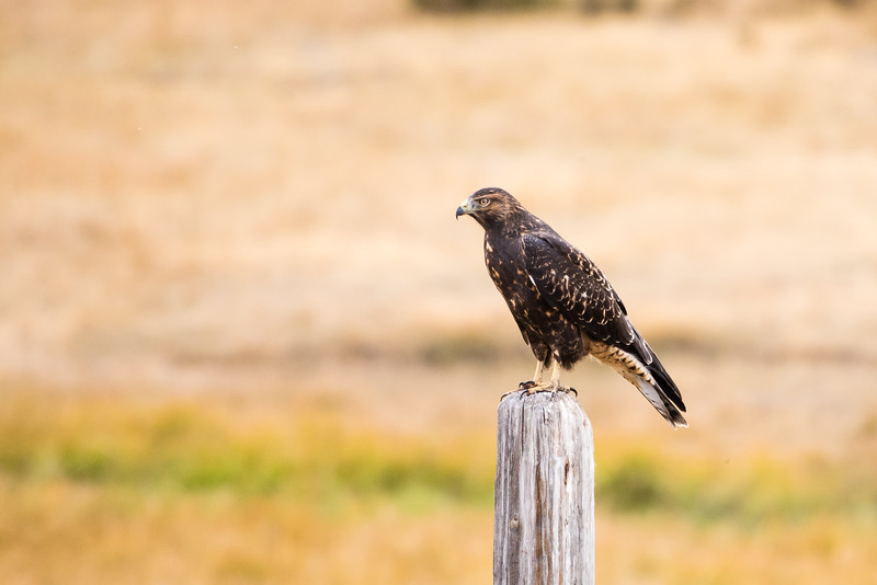 A hawk stops to model for us.