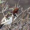 Ptarmigan in the brush