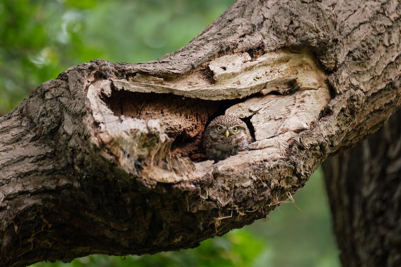 Little Owl Nest