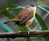 Carolina Wren - Biloxi, MS