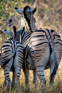 Behind the Zebra