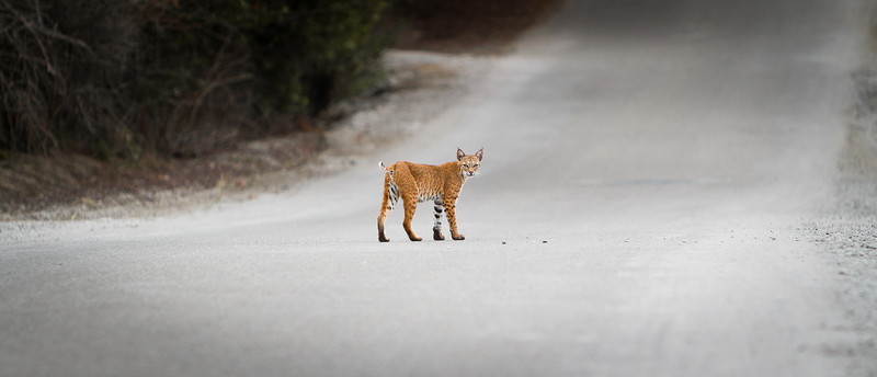 A wild Bobcat is desperate for a meal in the early morning hours before daybreak.  While crossing Bommer Canyon Rd. he pauses for a moment to observe a photographer crouched in the middle of the road at close range, armed with a Canon EOS 7D fitted with an intimidating EF 70-200mm f/2.8L IS USM telephoto zoom lens pointed straight at him...click!