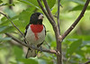 Red Breasted Grosbeak 2