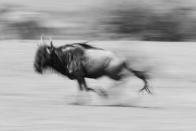 Wildebeest Run