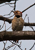 Common Flicker Male 2 - Morton Arboretum