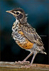 American Robin 2 - Backyard Birds