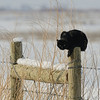 We had to wait a few days for our 4th shoot because of the Christmas holidays, so on the Saturday after Christmas we decided to head up to the Bear River Migratory Bird Refuge. Right as we got past the farm houses we came across this black cat sitting on a fence. We though he looked pretty cool against the snowy background.