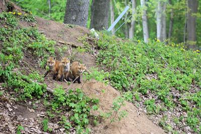 Curious Fox Kits