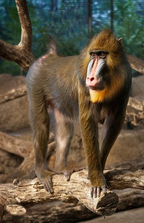 Mandrill Baboon at the Milwaukee Wisconsin Zoo