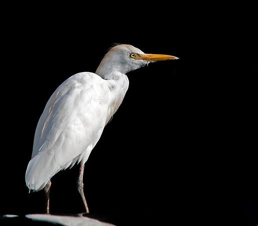 White Egret in Florida