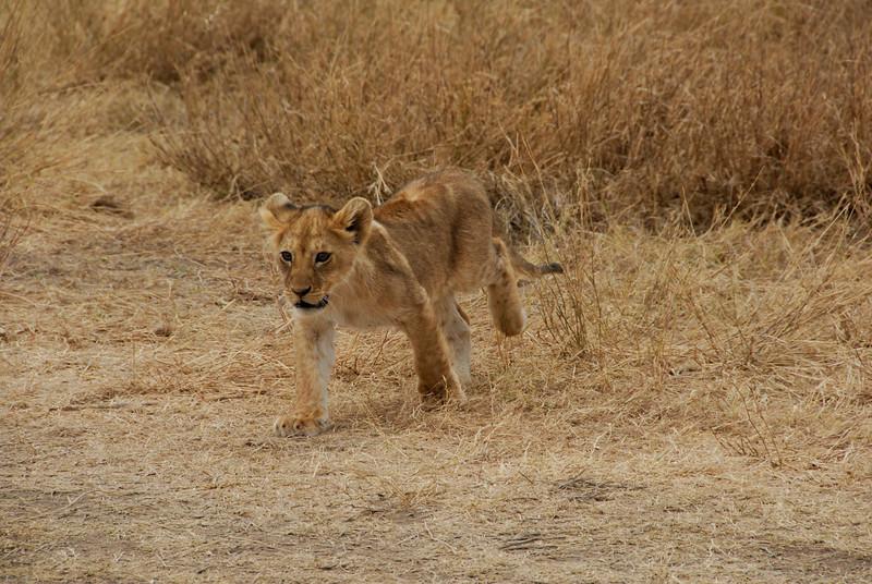 Lion cub. Serengeti